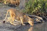 lioness drinking