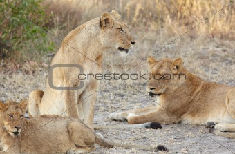 Lions at rest