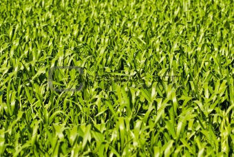 Green wheat or barley leaves