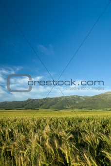 Green wheat or barley field