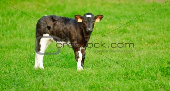 calf with green background
