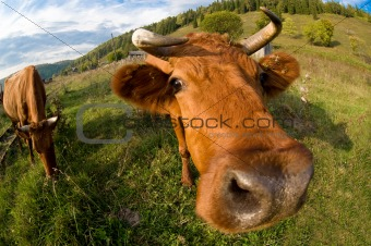 A close up of a cow's head.