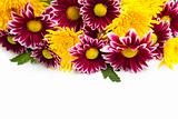 purple and yellow flowers / isolated on  white background