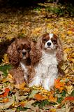 Cavaliers Autumn leaves