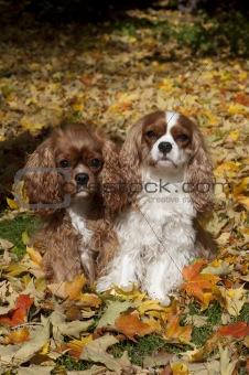 Cavaliers Autumn leaves