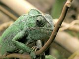 sahel chameleon