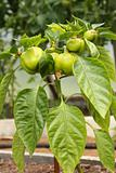 peppers ripening on the plant
