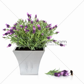 Lavender Herb and Bumblebee