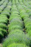 Spring Lavender field