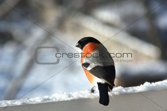Male of bullfinch. Winter day
