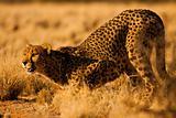 Cheetah in Namibia Africa