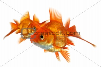 three goldfish isolated on white