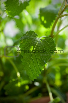 Close up picture of balm-mint plant.
