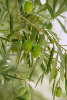Olive tree with green fruits in Spain
