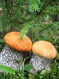 Close-up of two orange-cap boletus