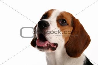 beautiful funy dog on white