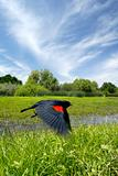 Red Wing Blackbird in Flight