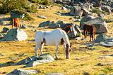 Horses - Pyrenees mountain