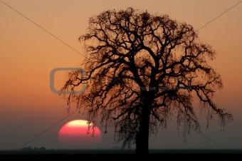 Winter Oak Tree and Setting Sun