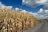 Corn And Skies