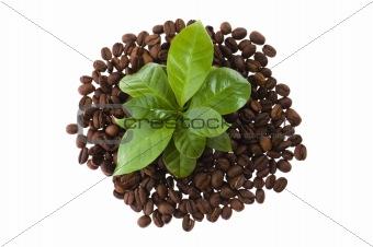 growing coffee plant