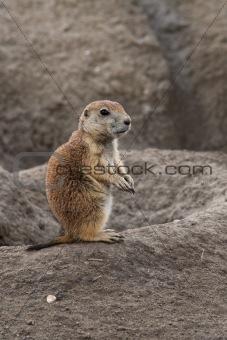 Small prairie dog