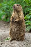 Big prairie dog stading straight