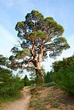 big pine tree on sky background