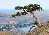pine tree on summer mountain hill (Crimea, Ukraine)