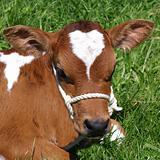 Ayrshire Calf