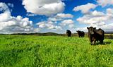 Green Meadow Cows
