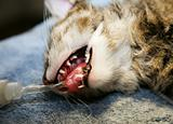 cat under anesthesia