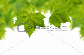 Beautiful green leaves in spring isolated on white