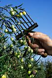 Harvesting of the olive