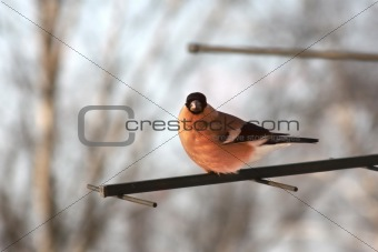 Female bullfinch. Winter day