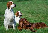Irish setter trio