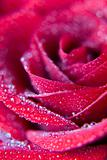 red, rose, close, up, closeup, close, card, design,