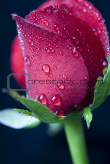 kirmizi gul:horizontal, fora, floral, flower, english