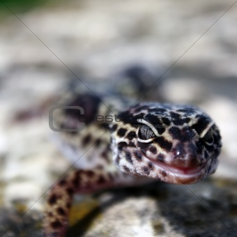 adult leopard gecko