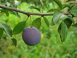 ripening plum