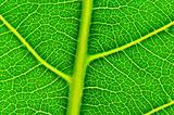 a leaf's veiny texture