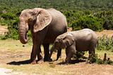 elephants in savanna