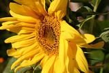 Yellow flower of a sunflower in the afternoon