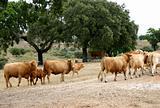 cows02.pg