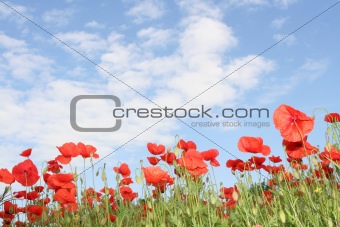 corn poppy field and a blue sky - Tuscany, Italy