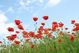 corn poppy field and a blue sky - Tuscany, Italy