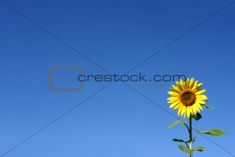 Beautiful Sunflower and a blue sky