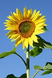 Beautiful Sunflower and a blue sky