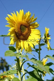 Beautiful Sunflowers and a blue sky