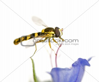 Hoverflies